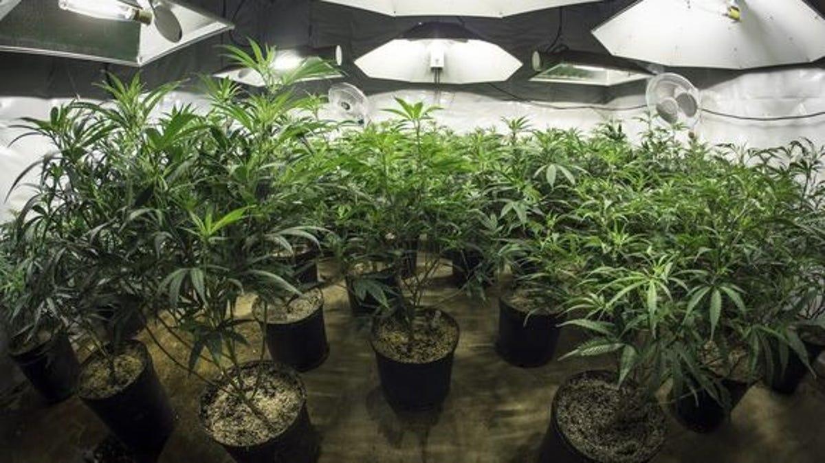 Cannabis strains grow at home